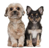 Shih Tzu and Chihuahua, 5 years old and 3 months old, sitting in front of white background — Stock Photo