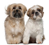 Two Shih Tzu's, 2 years old, sitting in front of white background — Stock Photo