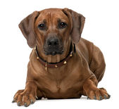 Rhodesian Ridgeback puppy, 7 months old, lying in front of white background — Stock Photo
