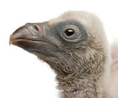 Griffon Vulture, Gyps fulvus, 4 days old, in front of white background — Stock Photo