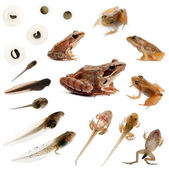 Composition of the complete evolution of a Common frog in front — Stockfoto