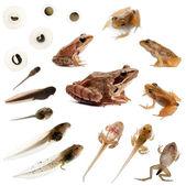 组成的完整的一只普通青蛙在前面演变 — 图库照片