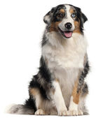 Australian Shepherd dog, 1 year old, in front of white background — Stock Photo