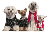 Four dogs dressed up in front of white background — Stock Photo
