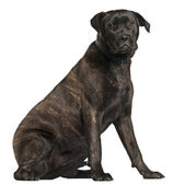 Bullmastiff, 8 months old, sitting in front of white background — Stock Photo
