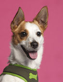 Close-up of Jack Russell Terrier in front of pink background — Stock Photo