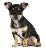 Miniature Pinscher, 9 months old, sitting in front of white background — Stock Photo