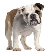English bulldog, 7 months old, standing in front of white background — Stock Photo