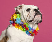 Close-up of English Bulldog wearing Hawaiian lei in front of pink background — Stock Photo