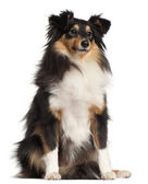 Shetland Sheepdog, 1 year old, sitting in front of white background — Stock Photo