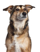 Mixed-breed dog, 4 years old, sitting in front of white background — Stock Photo
