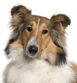 Close-up of Scotch Collie, 9 months old, in front of white background — Stock Photo