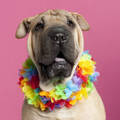 Close-up of Shar-pei wearing Hawaiian lei in front of pink background — Stock Photo