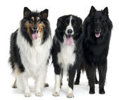 Collies standing in front of white background — Stock Photo