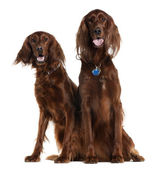 Two Irish Setters sitting in front of white background — Stock Photo