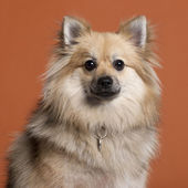 Close-up of Spitz in front of orange background — Stock Photo