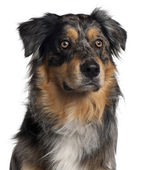 Australian Shepherd dog, 1 year old, sitting in front of white background — Stock Photo