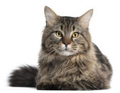 Maine Coon, 2 years old, in front of white background — Stock Photo