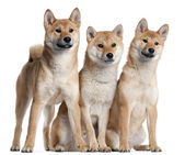 Three Shiba Inu puppies, 6 months old, in front of white background — Stock Photo