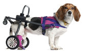 Paralyzed handicapped Mixed-breed dog, 8 years old, in front of white background — Stock Photo