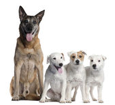 German Shepherd, 11 years old, and Parson Russell Terriers, 6 years old, 2 and a half years old and 11 months old, in front of white background — Stock Photo
