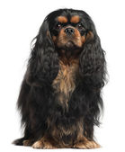 Cavalier King Charles Spaniel, 2 years old, in front of white background — Fotografia Stock