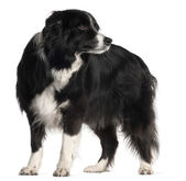 Border Collie, 9 years old, standing in front of white background — Stock Photo