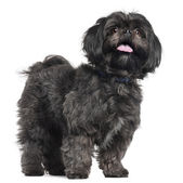 Lhasa Apso, 3 years old, standing in front of white background — Stock Photo