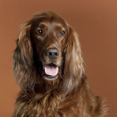 Close-up of Irish Setter, 5 years old, in front of brown background — Stock Photo