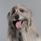 Close-up of Pyrenean Shepherd dog, 18 months old, in front of grey background — Stock Photo