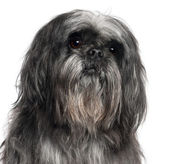 Close-up of Shih Tzu, 9 years old, in front of white background — Stock Photo