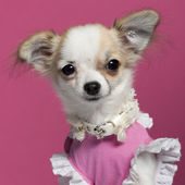 Close-up of Chihuahua puppy in pink dress, 6 months old, in front of pink background — Stock Photo