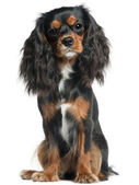 Cavalier King Charles Spaniel, 11 months old, sitting in front of white background — Stockfoto