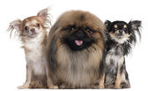 Two Chihuahuas, 3 years old and 10 months old, and a Pekingese, 2 years old, in front of white background — Stock Photo