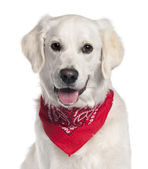 Golden Retriever wearing red handkerchief, 9 months old, sitting in front of white background — Stock Photo