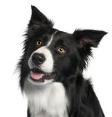 Close-up of Border Collie, 4 years old, in front of white background — Stock Photo