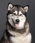 Close-up of Alaskan Malamute, 2 years old, in front of grey background — Stock Photo
