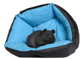 Black guinea pig, 3 months old, in blue dog pillow in front of white background — Fotografia Stock
