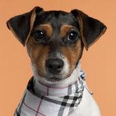 クローズ アップのジャック ラッセル ・ テリア (子犬ハンカチ、4 ヶ月、オレンジ色の背景の前に身に着けています。 — ストック写真