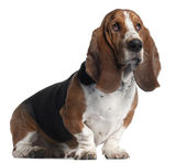Basset Hound, 3 years old, sitting in front of white background — Stock Photo