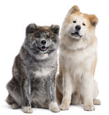 Akita Inu, 7 years old and 4 years old, sitting in front of white background — Stock Photo