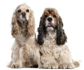 Two American Cocker Spaniels, 1 and 2 years old, in front of white background — Stock Photo