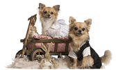 Chihuahua couple, 2 years old, dressed up and sitting in dog bed wagon with stuffed animals in front of white background — Stock Photo