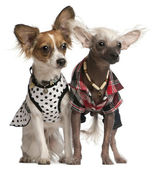 Dressed up Chinese Crested Dogs, 2 years old and 8 months old, i — Stock Photo
