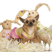 Chihuahua dressed up and standing with Easter stuffed animals in — Stock Photo