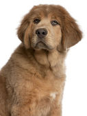 Close-up of Tibetan Mastiff puppy, 3 months old, in front of white background — Zdjęcie stockowe