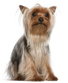 Yorkshire Terrier, 1 year old, sitting in front of white background — Stock Photo