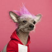 Close-up of Chinese Crested Dog with pink mohawk, 4 years old, in front of pink background — Stock Photo