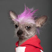 Close-up of Chinese Crested Dog with pink mohawk, 4 years old, in front of grey background — 图库照片