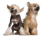 中国語クレステッドドッグの子犬、4 ヶ月と中国語クレステッドドッグ — ストック写真